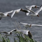 black-headed_gull(j_fox)_S