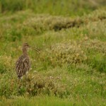 curlew(j_fox)_S