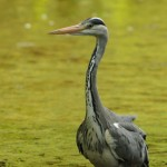 grey _heron(j_fox)_S