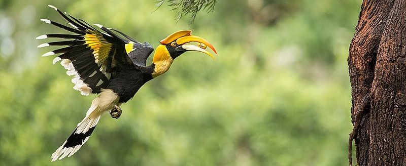 BOU2020_Great_Hornbill_carrying_food-e1553269072561